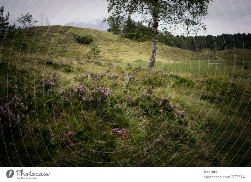wild beauty Environment Nature Landscape Plant Summer Autumn Weather Rain Tree Moss Wild plant Heather family Meadow Forest Hill Mountain Natural Green Violet