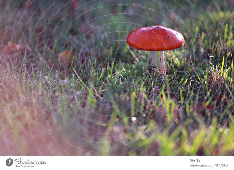 Nature Red Autumn Meadow Moody Beautiful weather Mushroom Autumnal Flare Point of light Autumnal colours Poison Shaft of light Mushroom cap Autumnal weather