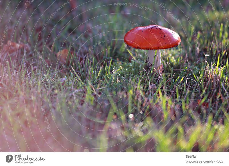 Toadstool in November Amanita mushroom Mushroom Mushroom cap Fall meadow Red Autumnal colours Mood lighting shimmer of light Flare Shaft of light Poison