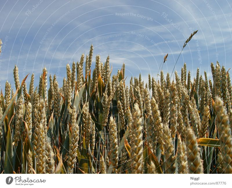 Cereals II Crops Wheat Field Ear of corn Flour Seed Agriculture Silo Farm Planter niggl Grain Sky Attic