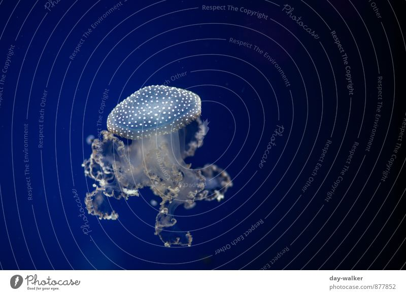 Blue fly agaric Animal Jellyfish 1 Cold Soft White Tentacle Float in the water Colour photo Underwater photo Deserted Artificial light Light Shadow Contrast