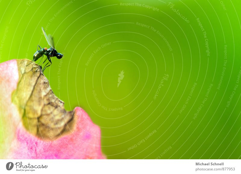 departure Plant Animal Blossom Hydrangea Fly Insect 1 Flying Small Curiosity Green Pink Brave Airplane takeoff fly away Departure Delicate Colour photo