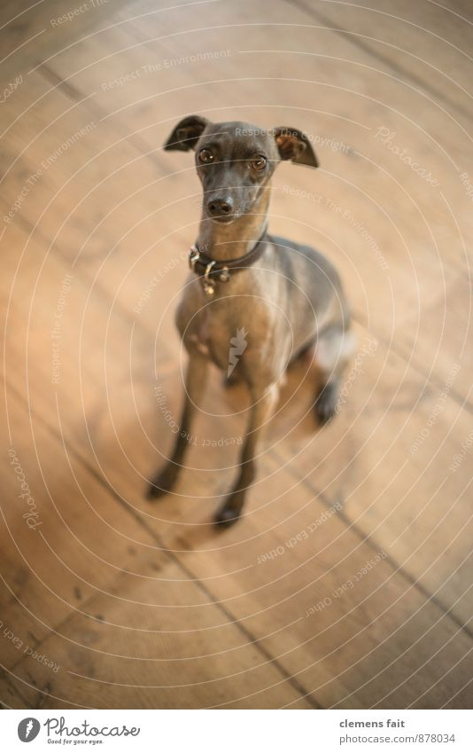 Yes - No - Maybe Dog Puppydog eyes Looking Looking into the camera Eyes Contact Desire Paw Beseeching Ask Dog collar Wooden floor Floorboards Pelt Greyhound