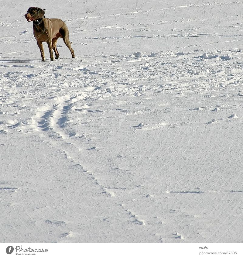 Winter Animal Snow Observe Strong Hunting Watchfulness Mammal Backward Nerviness Fix