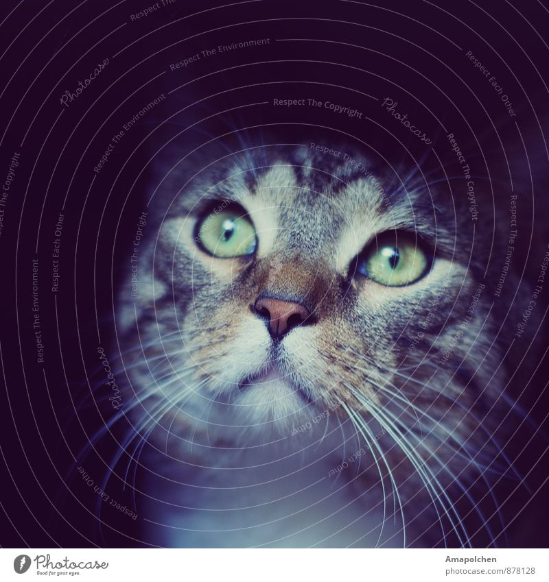 ::14-35:: (100) Animal Pet Cat Animal face Curiosity Cute Pet shop Keeping of animals Domestic cat Flat (apartment) Cat eyes Snout Whisker Observe Hunting