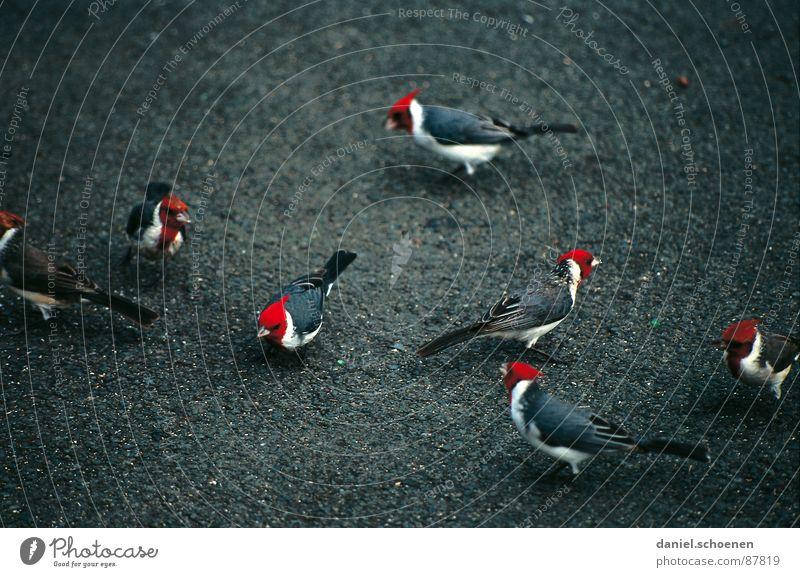 Red Black Animal Bird USA Feather Exotic Hawaii Unfamiliar