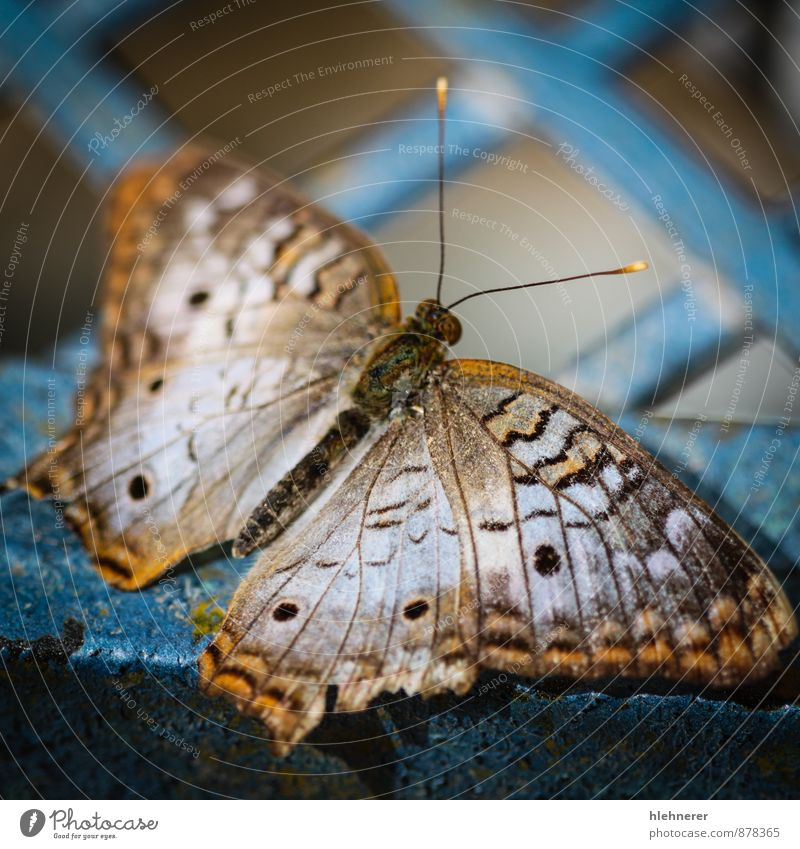 White Peacock Anartia Jatrophae Nature Beautiful Animal Black Natural Brown Wing Cute Beauty Photography Insect Butterfly Spotted Beige Antenna