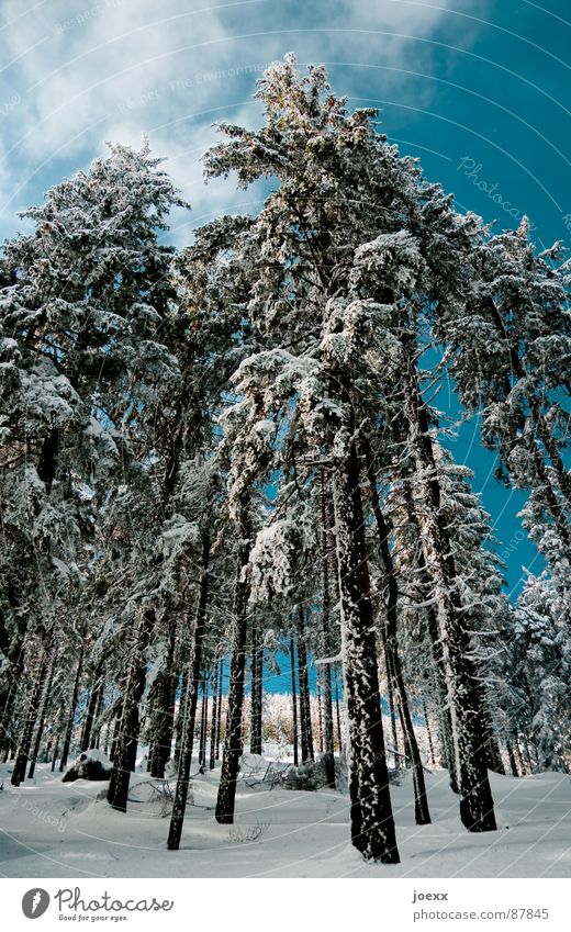 stilts Tree trunk Clouds Thin Whipped eggwhite Cold Forest Sky blue Long Clearing Environment Tree bark Fir tree Winter Branch Frost Nature Perspective Snow