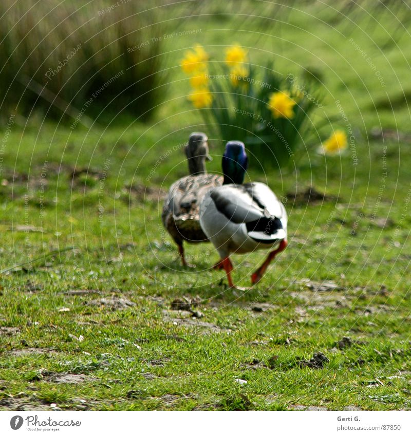 go fucking Mallard Drake Bird Together Behind one another Waddle Grass Meadow Wild daffodil Bushes 2 Attachment Flower Pursue Dance Going Love