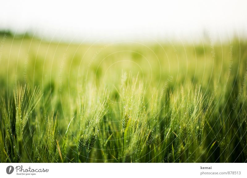 deep green Environment Nature Plant Sunlight Spring Summer Bad weather Rain Agricultural crop Barley Barleyfield Field Growth Fresh Healthy Wet Green