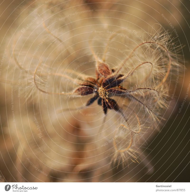 The Wuschel flower III Plant Blossom Wild plant Faded Soft Brown Gold Fuzz Thread Disheveled Beige Limp Star (Symbol) Smooth Delicate Clematis Crowfoot plants