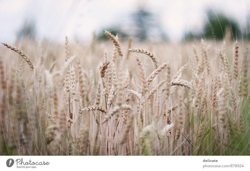 cornfield Nature Autumn Plant Grass Field Environment Grain Grain field Agriculture Ear of corn Crops Wheatfield Brown Shallow depth of field Harvest