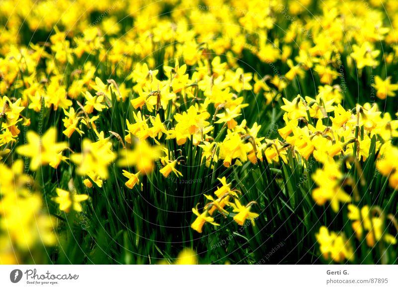 flashy Lighting Bouquet Flower Crazy Yellow Characteristic Seeming Depth of field Splendid Impressive Gaudy Pervasive Wild daffodil Plant Green Sunlight