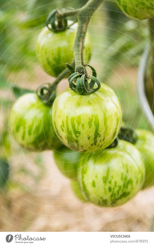 green striped tomatoes in garden Food Vegetable Healthy Eating Life Leisure and hobbies Summer Garden Nature Plant Stripe agriculture white Background picture