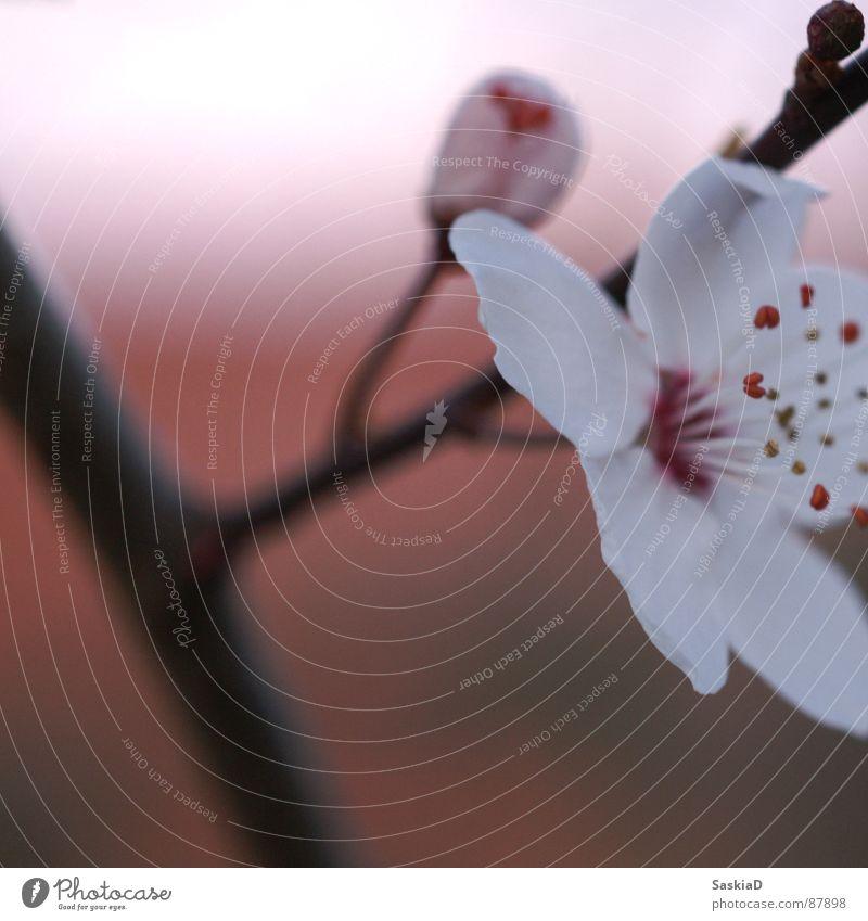 Nature Beautiful Flower Plant Calm Blossom Spring Wellness Dusk