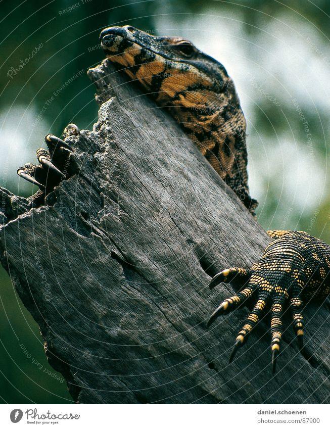 Fingernail extension in Australian Saurians Reptiles Nail Animal Fraser Island Claw Dragon Skin primeval Exterior shot