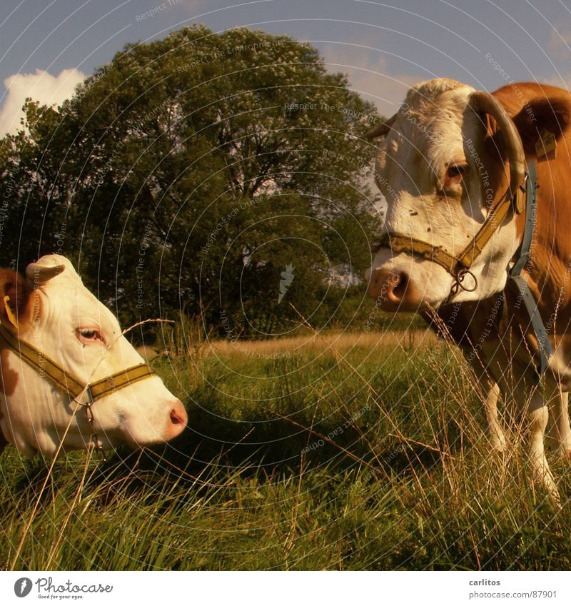 Green Summer Meadow Grass Happy Flying Nutrition Village Pasture Cow Antlers Cattle Blood Mammal Effort Agriculture