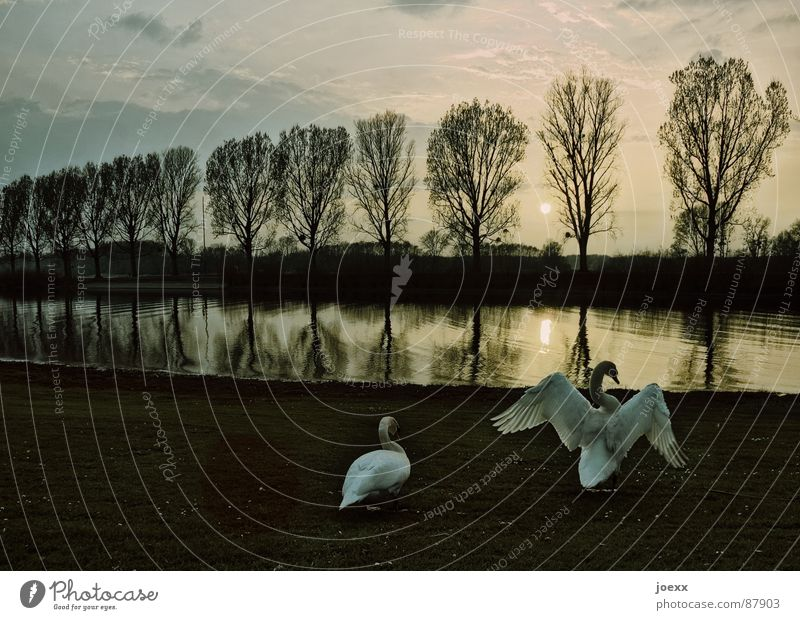 Sky Nature Water Relaxation Calm Clouds Animal Love Lake Bird Pair of animals In pairs River Dusk Avenue Swan