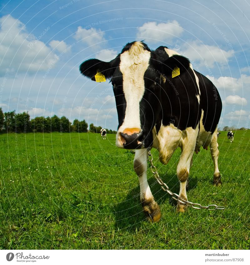 Sky Blue White Black Meadow Free Cow Chain Alpine pasture Animal Black & white photo Dairy Products Moo Chained up