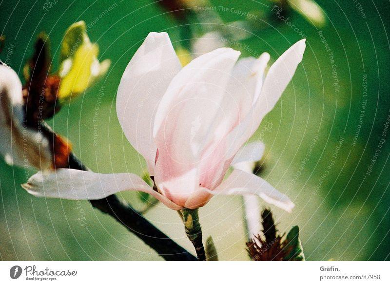 Spring leaves its pink ribbon... Tepid Magnolia plants Blossom Tulip Pink Green Blossom leave Zoom effect Delicate Flower stem Sensitive Stalk Pistil Fragile