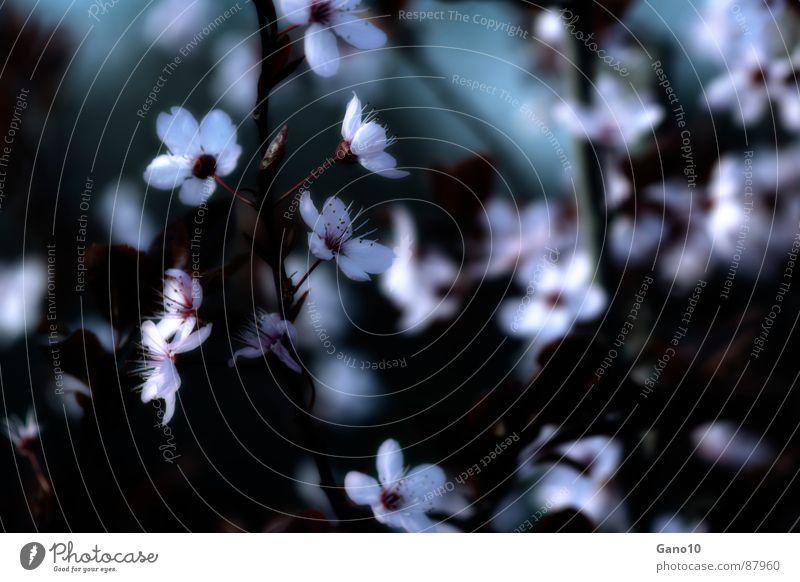 Blossom Spring Pink Blossoming Cherry blossom