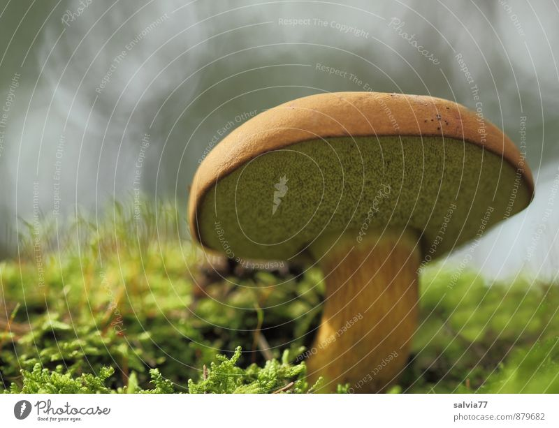 boletus Nature Plant Earth Autumn Moss Mushroom Mushroom cap Forest Stand Growth Fat Fresh Delicious Under Brown Gray Green Loneliness Calm Environment Cep