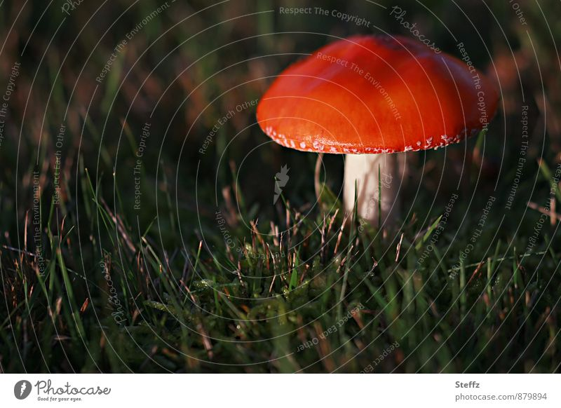Flypliz alone in the forest Amanita mushroom Mushroom Mushroom cap red fungus red mushroom hat toxic fungus in the light Automn wood Glade wax Near Red October