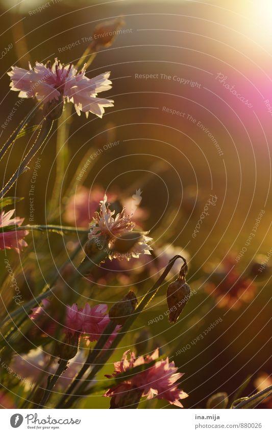 Nature Plant Green Summer Sun Flower Calm Environment Meadow Autumn Grass Blossom Freedom Garden Moody Pink