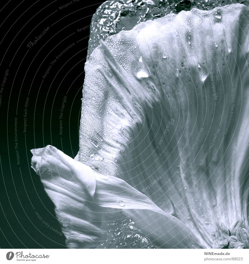 Water Winter Black Cold Blossom Ice Waves Elegant Drops of water Arrangement Image Delicate Science & Research Blossoming Square Poppy