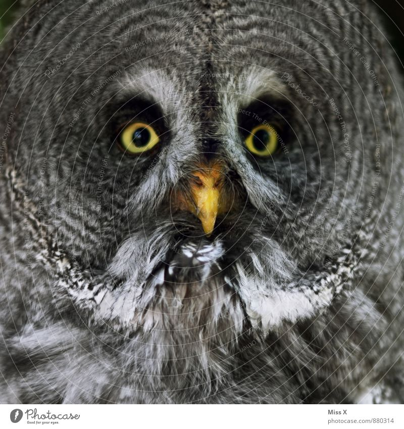 hoo-hoo Wild animal Bird 1 Animal Looking Great grey owl Owl birds Eyes Colour photo Close-up Pattern Deserted Animal portrait Looking into the camera Forward