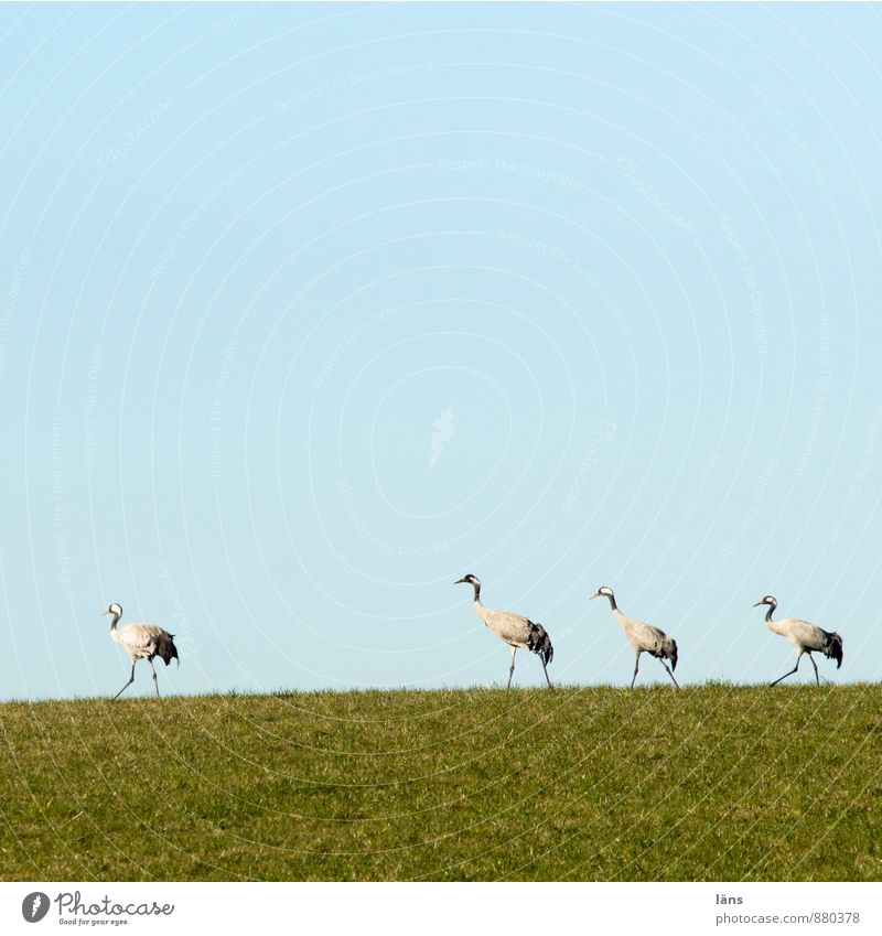 the train of cranes Landscape Sky Cloudless sky Beautiful weather Grass Meadow Wild animal Bird Crane 4 Animal Group of animals Animal family Friendship