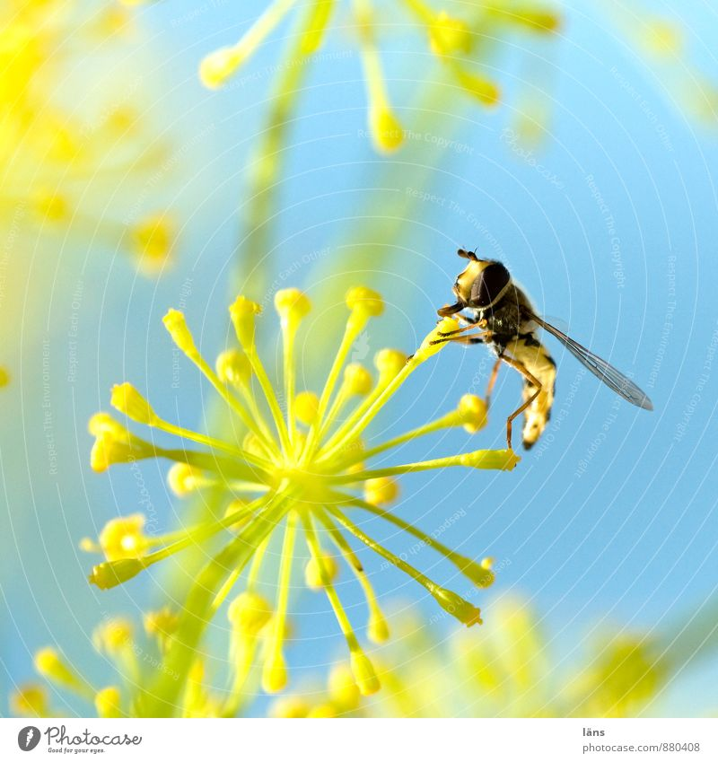 Nahrungsfeuerwerk Blue Yellow Sky Insect Hover fly Blossom