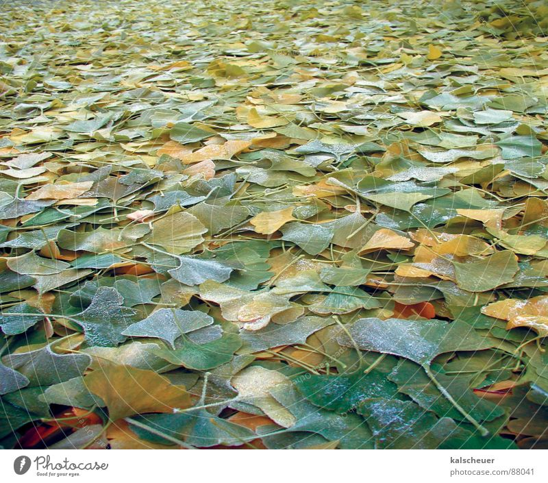 Ginkgo autumn 1 Green Leaf Autumn Ginko Infinity Background picture Floor covering Structures and shapes