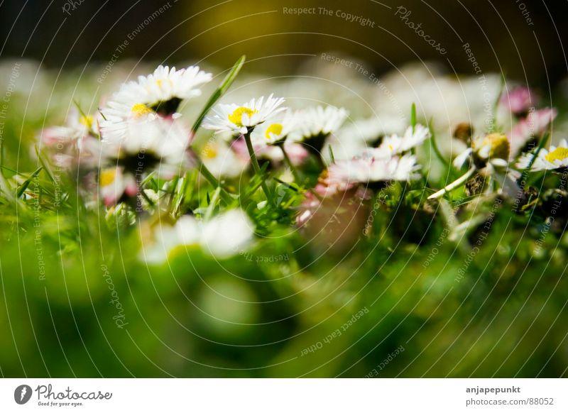 White Flower Green Dark Meadow Grass Spring Pink Daisy