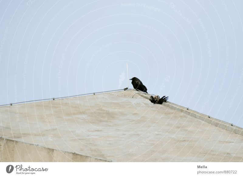 wake Environment Nature Animal Sky Facade Roof Lightning rod Bird Crow Carrion crow 1 2 Concrete Crouch Sit Wait Blue Sadness Grief Death Threat Attachment
