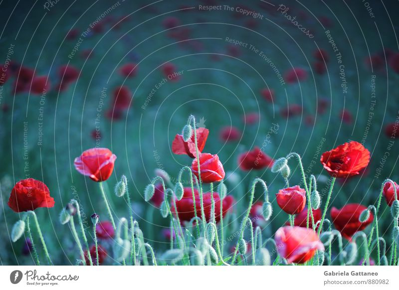 Nature Plant Green Red Flower Calm Field Growth Blossoming Poppy