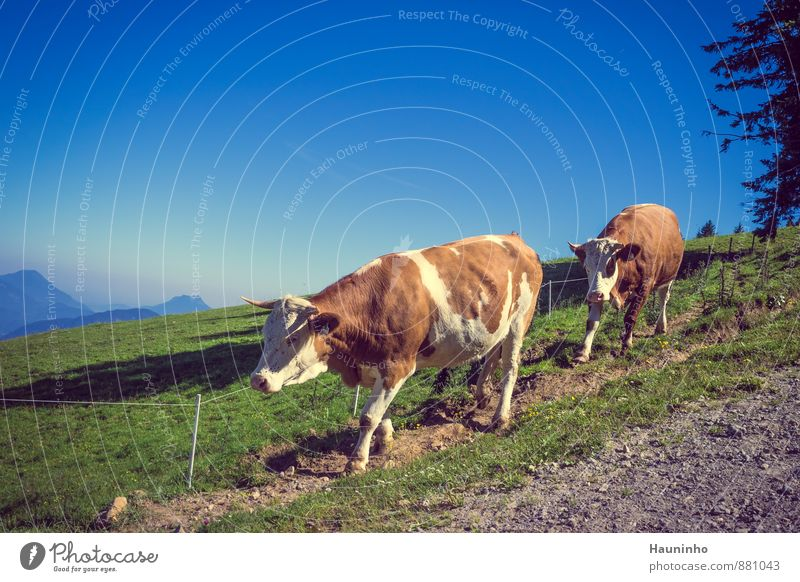 2 cows Vacation & Travel Tourism Trip Summer vacation Mountain Hiking Environment Nature Landscape Sky Beautiful weather Tree Meadow Alps Alpine pasture Austria