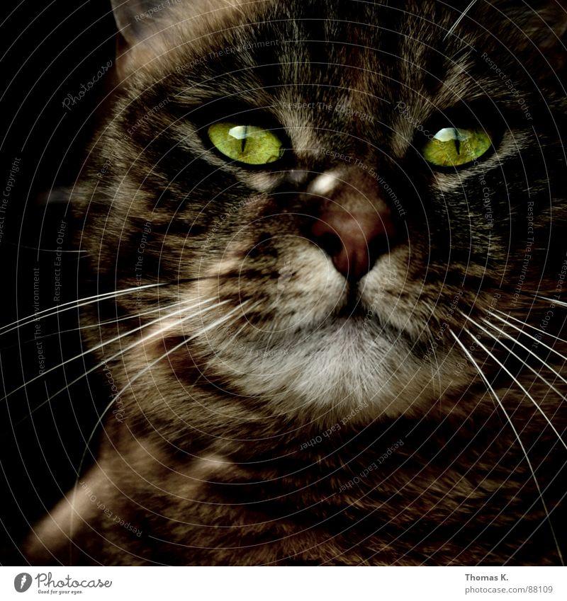 Animal Eyes Window Cat Glass Pelt Mammal Paw Window pane Domestic cat Moustache Window board Shop window Beard hair Windowsill Land-based carnivore
