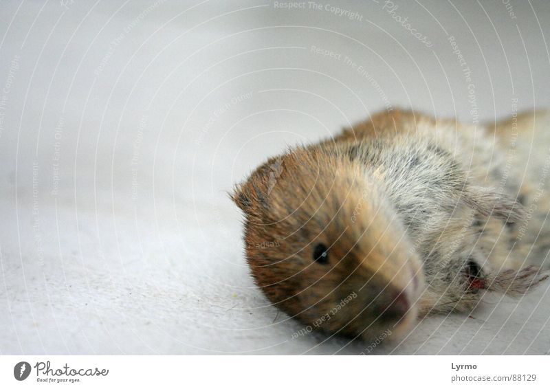 End of grief Animal Pelt Mouse To feed Grief Death Rodent Mammal from Sacrifice Colour photo Interior shot Close-up Deserted Isolated Image Neutral Background