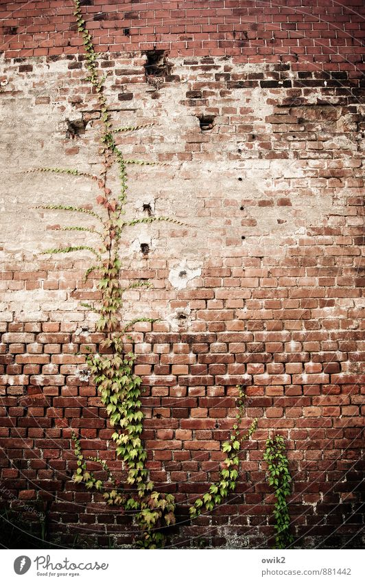 ascetic Plant Leaf Wild plant Ivy Tendril Wall (barrier) Wall (building) Facade Brick wall Growth Old Historic Climbing Creeper Tall To hold on Colour photo