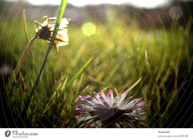 Nature Beautiful Sun Summer Calm Meadow Spring Garden Serene To enjoy Pasture Daisy