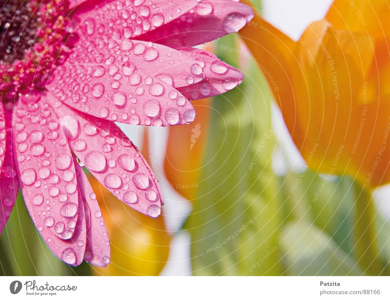 World of health Spring flower Flower Tulip Gerbera Rain Drops of water Meadow Bouquet Wet Blossom Pink Yellow Damp Mother's Day Flowerbed Grass Hippie Garden