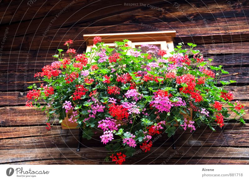 arrayed Plant Flower Geranium balcony flowers Austria Federal State of Tyrol Village House (Residential Structure) Hut Wooden house Facade Window Window board