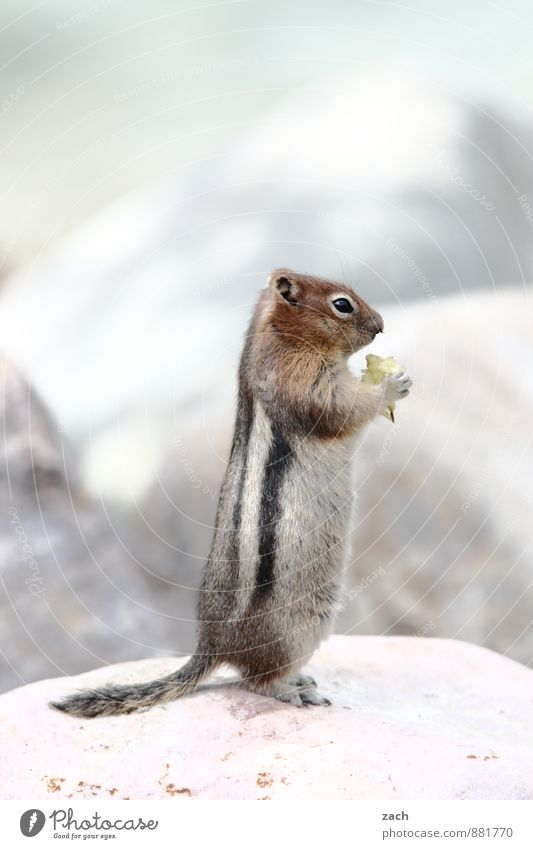 poser Animal Wild animal Animal face Pelt Paw Eastern American Chipmunk Squirrel Rodent Stripe Tails 1 Stone To feed Feeding Stand Cute Brown Gray Comical