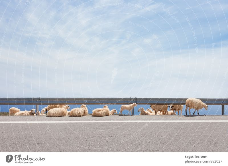 streetwalk Crete Greece Sheep Flock Animal Crash barrier Agriculture Livestock breeding Cattle breeding Herd Vacation & Travel Travel photography travel