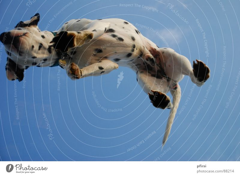 Dog from below - 1 Dalmatian Pet Under White Black Mammal Point Sky Blue Stomach
