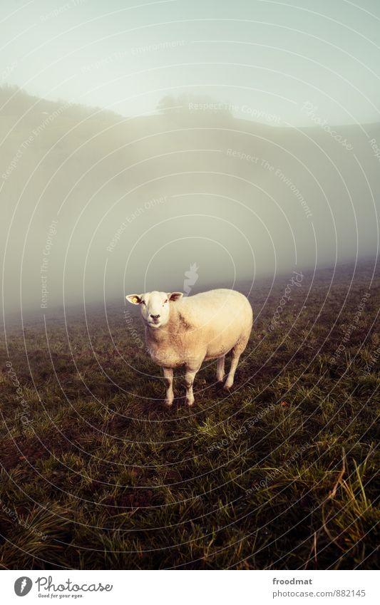 sheep Nature Animal Autumn Fog Meadow Farm animal 1 To feed Looking Cold Curiosity Retro Gloomy Moody Serene Calm Loneliness Environment Sheep Wool Nostalgia
