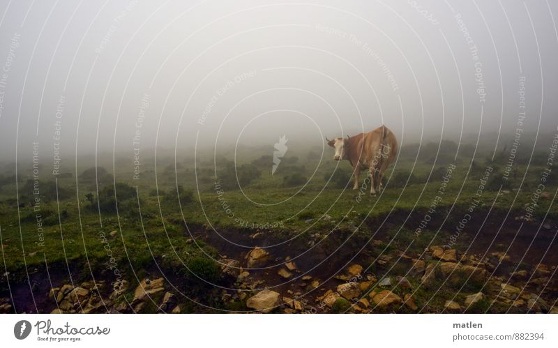 Green White Summer Landscape Animal Grass Brown Weather Fog Pet Moss Cow Rotate Bad weather