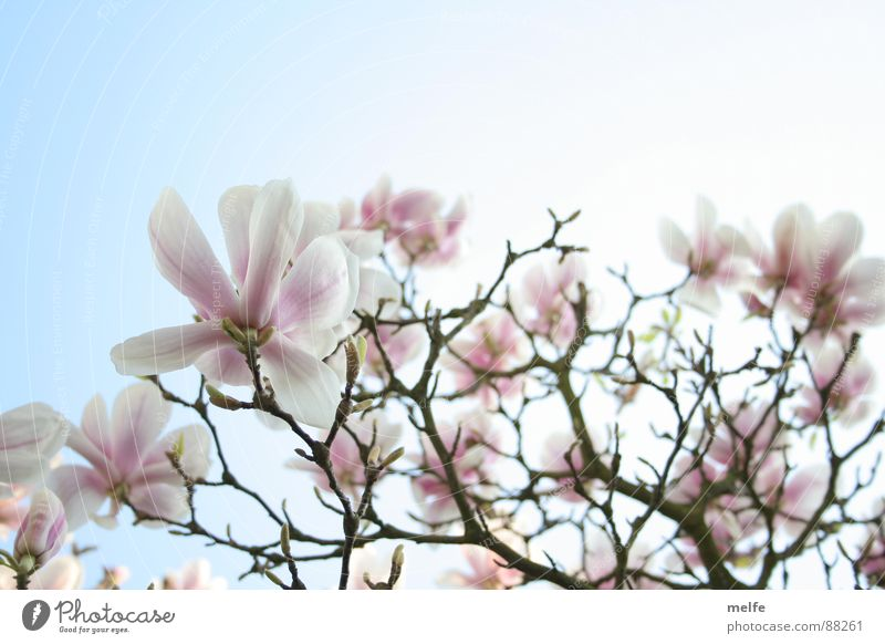 Beautiful Sky White Tree Blossom Spring Branch Magnolia plants Magnolia tree Spring day