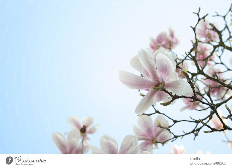 Beautiful Sky White Tree Blossom Spring Branch Flower Magnolia plants Magnolia tree Spring day